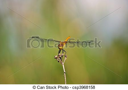 Stock Illustration of Ruddy Darter (Sympetrum sanguineum.