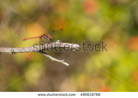 Sympetrum Stock Photos, Royalty.