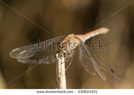 Sympetrum Meridionale Stock Photos, Royalty.