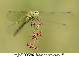 Sympetrum Stock Photos and Images. 1,060 sympetrum pictures and.