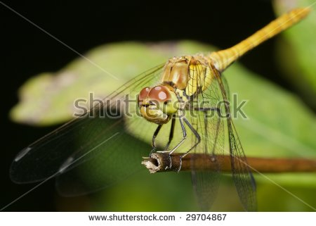 Female Common Darter (Sympetrum Striolatum) Dragonfly Perched On A.