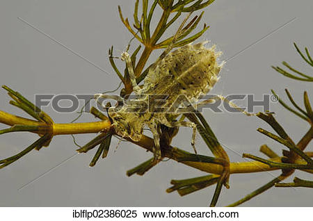 "Stock Image of ""Common Darter Dragonfly (Sympetrum striolatum."