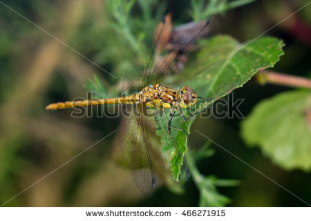 Striolatum Stock Photos, Royalty.