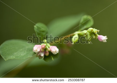 Symphoricarpos Albus Stock Photos, Images, & Pictures.