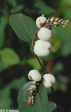 Symphoricarpos albus laevigatus (common snowberry).