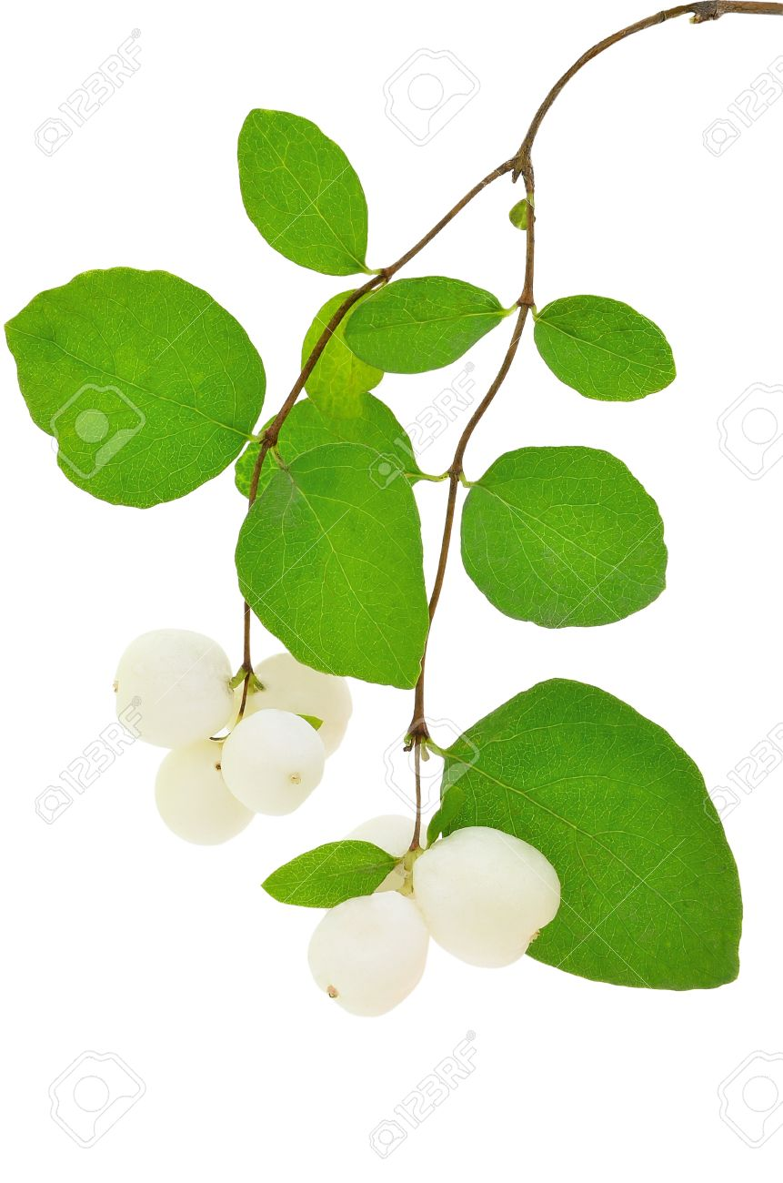 Symphoricarpos Albus Isolated On White Background Stock Photo.