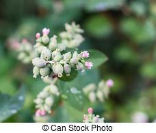 Stock Photography of Flowers Snowberries, Symphoricarpos on a.
