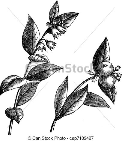 Vectors Illustration of Symphoricarpos racemosus or Snowberry.