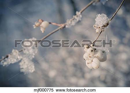 Stock Image of Snowcovered snowberries (Symphoricarpos), close.