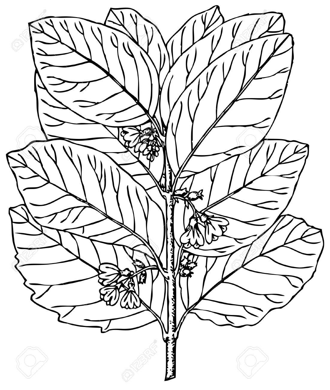 Plant Symphoricarpos Occidentalis (Western Snowberry) Royalty Free.