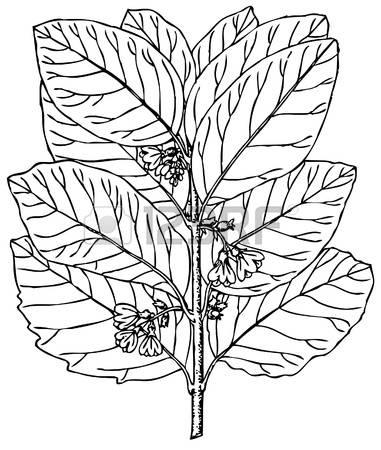 59 Snowberry Stock Illustrations, Cliparts And Royalty Free.