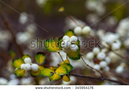 """common_snowberry"" Stock Photos, Royalty."