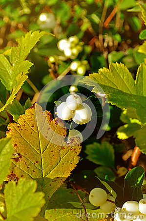 Snowberry Bush, Branch With White Berries Stock Photo.