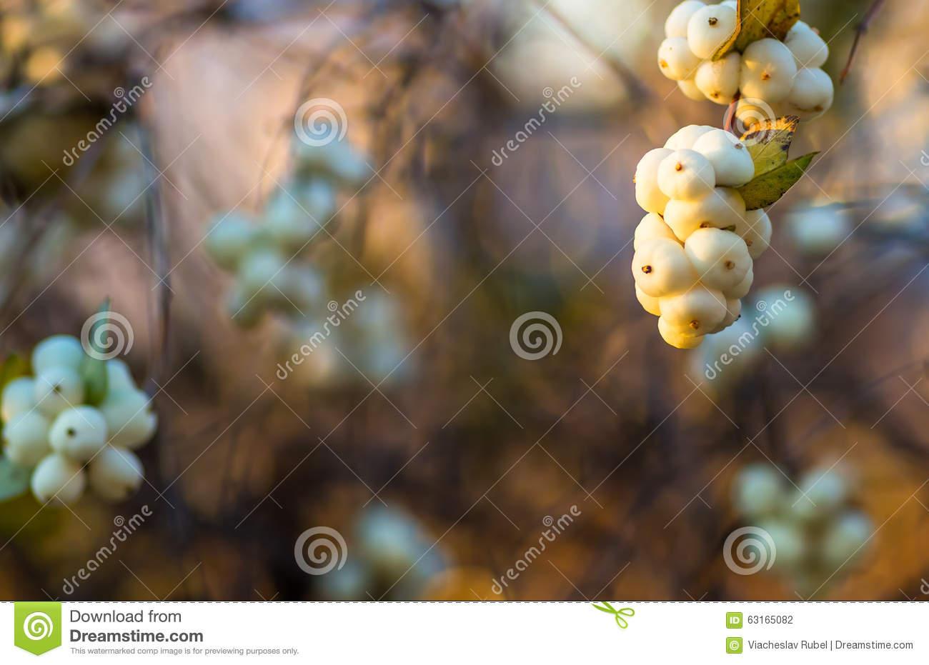 White Berries Symphoricarpos Albus Laevigatus Stock Photo.