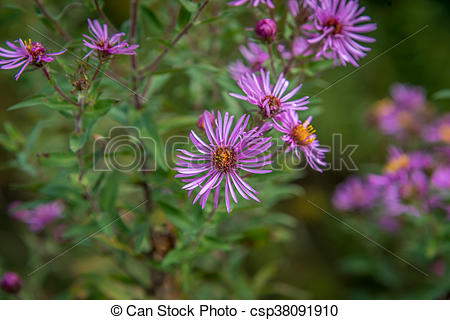 Stock Photography of New England Aster.