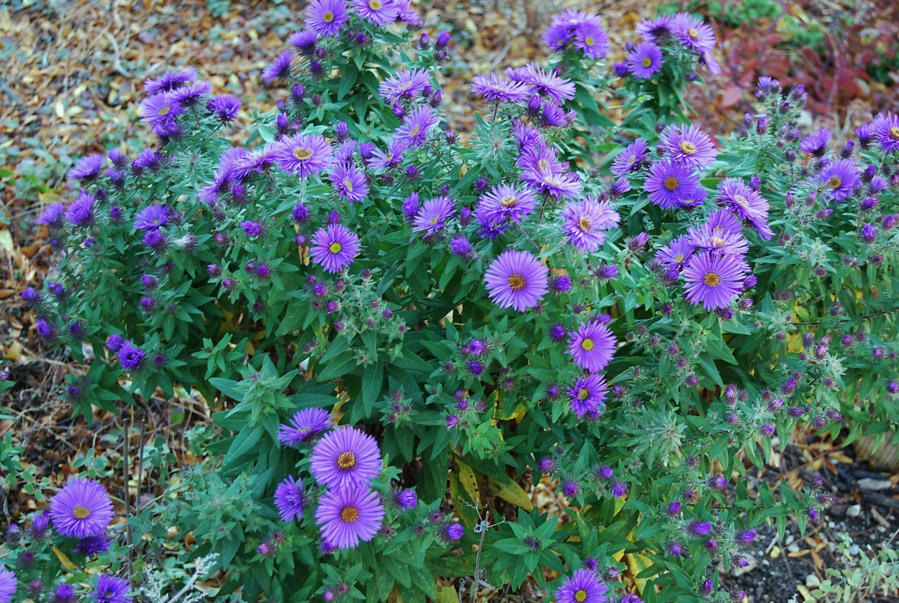 Plant of the Month: Symphyotrichum novae.