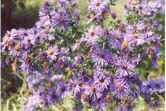 Plants Profile for Symphyotrichum novae.