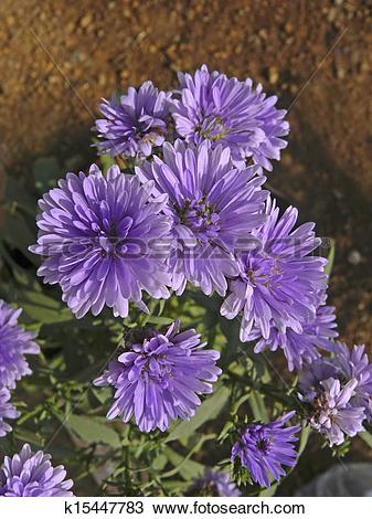 Stock Photo of New York Aster, Michaelmas Daisy, Symphyotrichum.