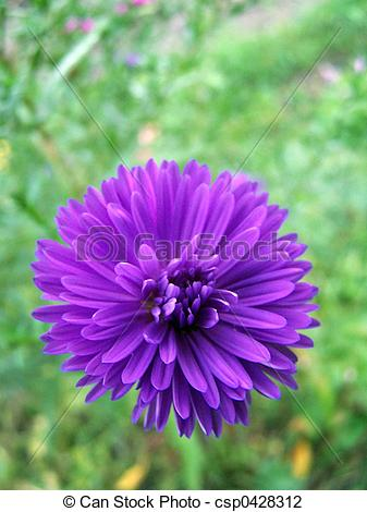 Stock Photo of Aster novi.