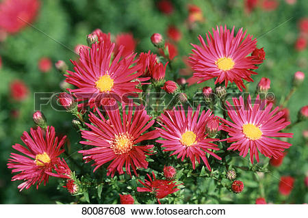 Pictures of DEU, 2003: Michaelmas Daisy (Aster novi.