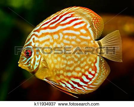Picture of Discus fish (Symphysodon) swimming underwater k11934937.