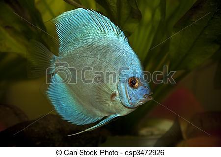 Stock Image of Discus fish.