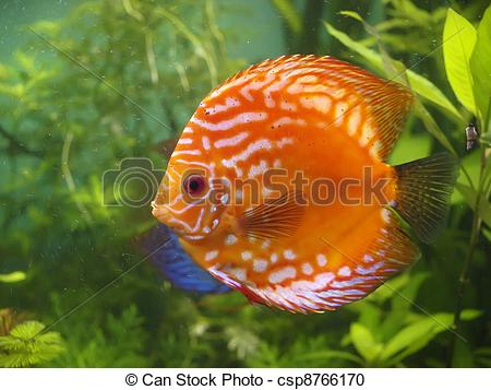 Stock Photography of Symphysodon discus.