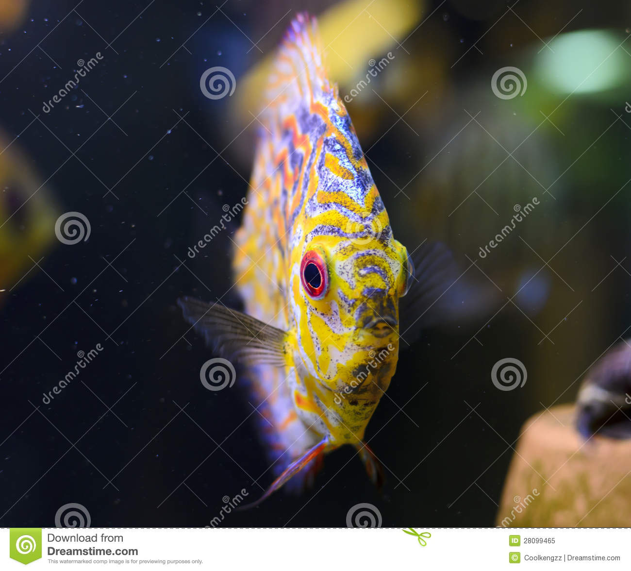 Discus Fish, Yellow Symphysodon Discus. Royalty Free Stock Image.