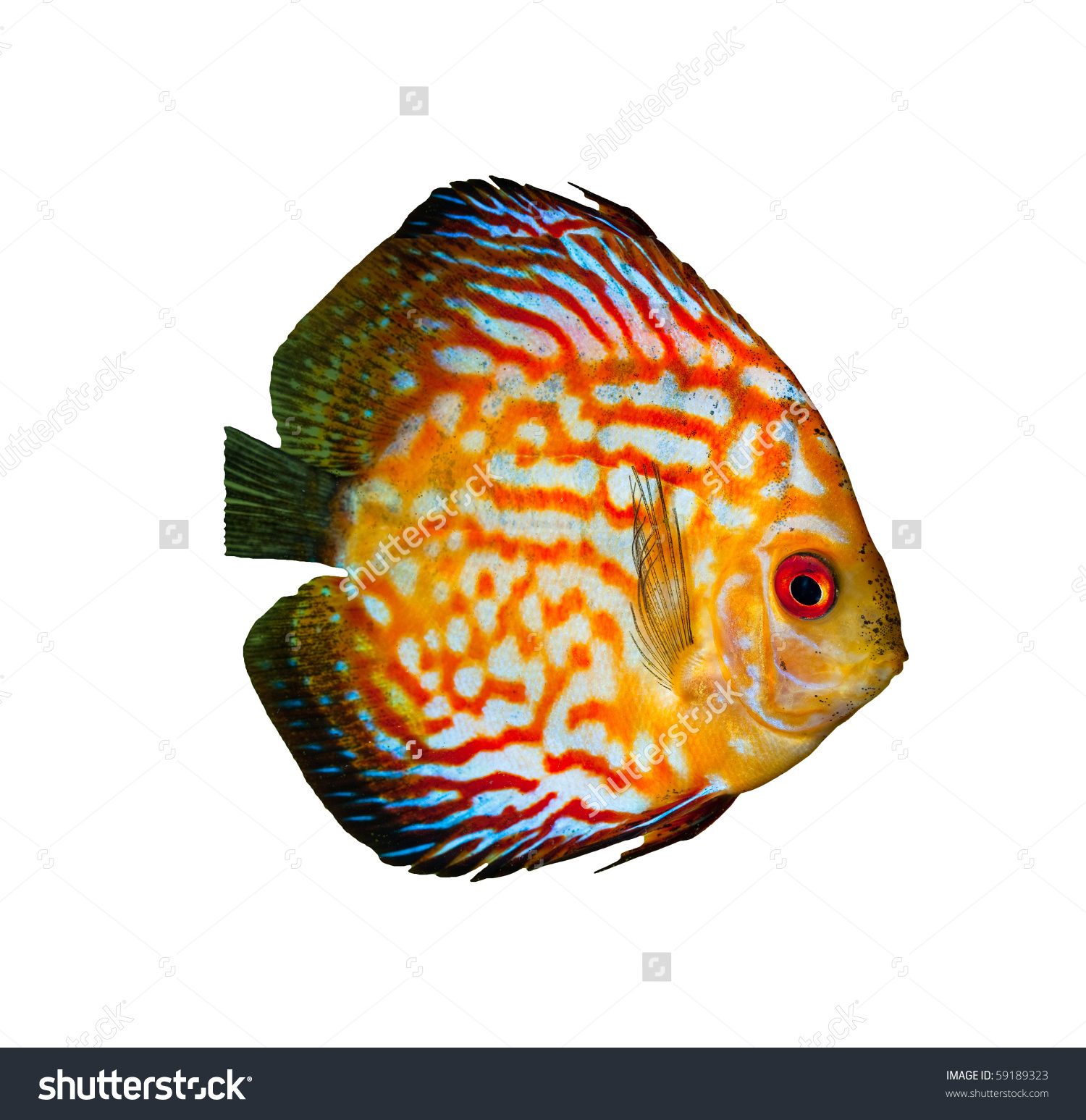 Red Tropical Symphysodon Discus Fish Isolated On White Stock Photo.