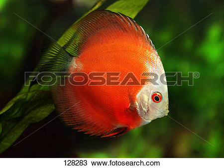 Stock Photo of discus / Symphysodon discus 128283.