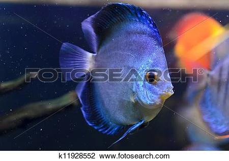 Stock Photo of Discus fish, blue Symphysodon Discus in aquarium.