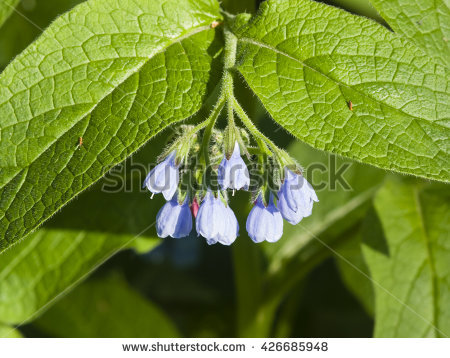 "comfrey_leaves"" Stock Photos, Royalty."