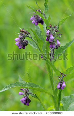 Symphytum Officinale Stock Photos, Royalty.