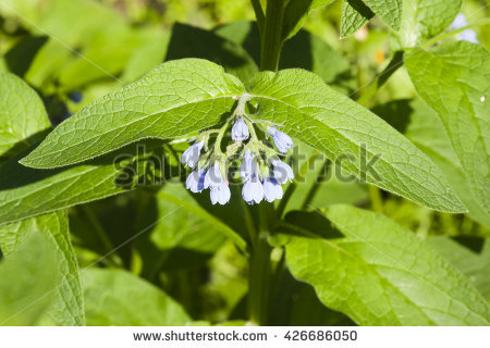 comfrey_leaves