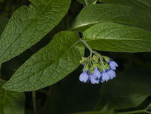 Comfrey Flowers Close.