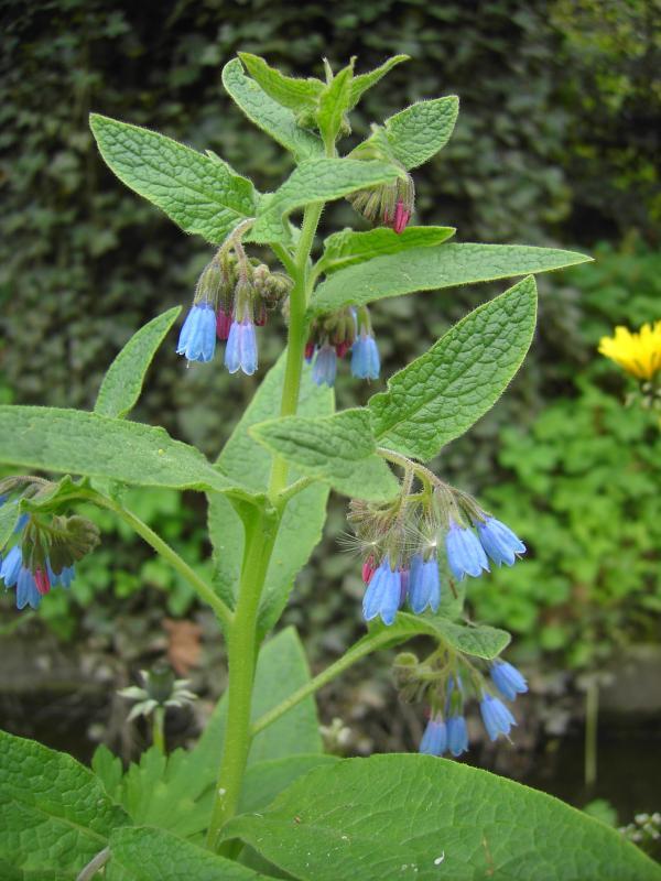 Symphytum caucasicum.