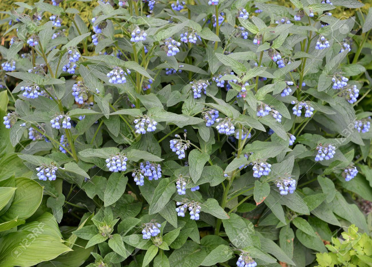 Blossoming Of A Comfrey Caucasian (Symphytum Caucasicum M. Bieb.