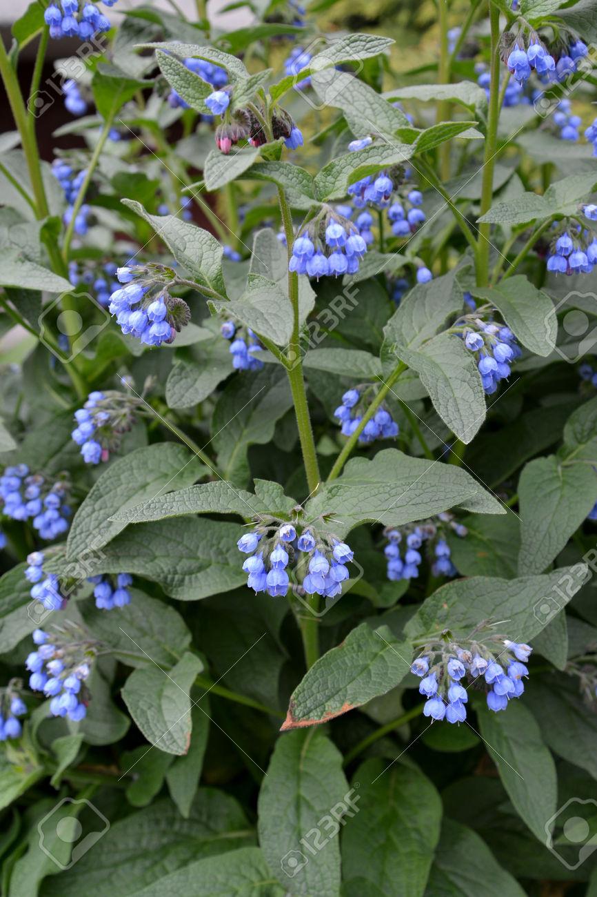 Blossoming Comfrey Caucasian (Symphytum Caucasicum M. Bieb.