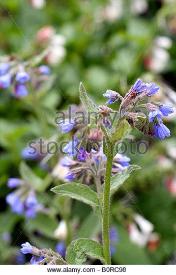 Symphytum Caucasicum Stock Photos & Symphytum Caucasicum Stock.
