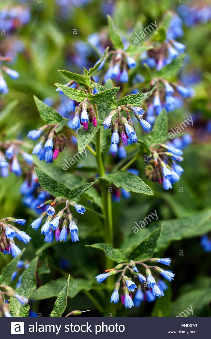 Symphytum caucasicum, Beinwell, Blue Comfrey, Caucasian Comfrey is.