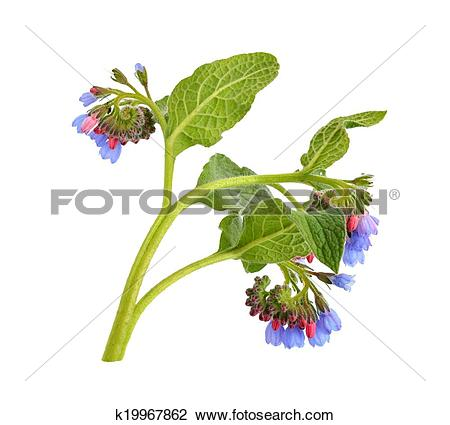 Stock Photo of Symphytum (comfrey) k19967862.