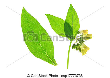 Stock Photos of Common Comfrey (Symphytum officinale), yellow.