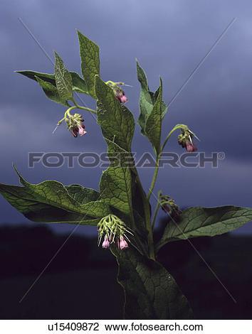 Stock Photo of herb, comfrey, symphytum officinale, plants.