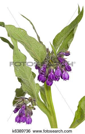 Stock Images of Symphytum officinale k6389736.