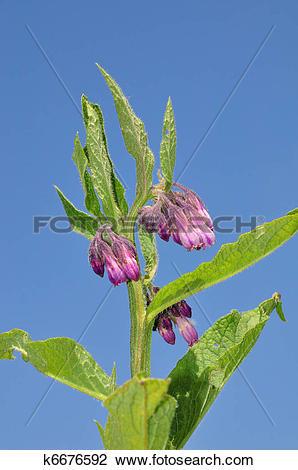 Stock Photo of Comfrey (Symphytum officinale) k6676592.