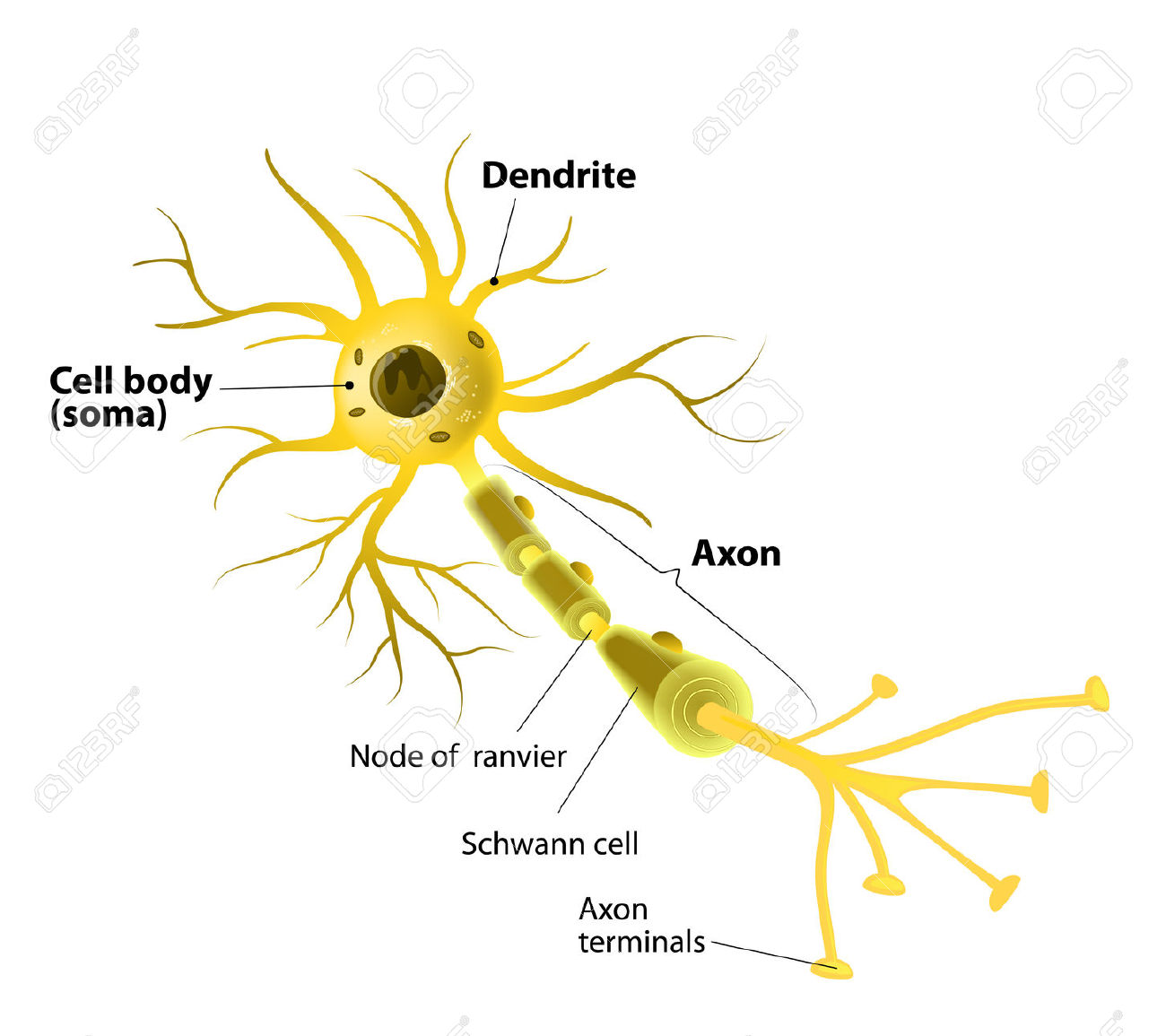 Neuron And Synapse Labeled Diagram Royalty Free Cliparts, Vectors.