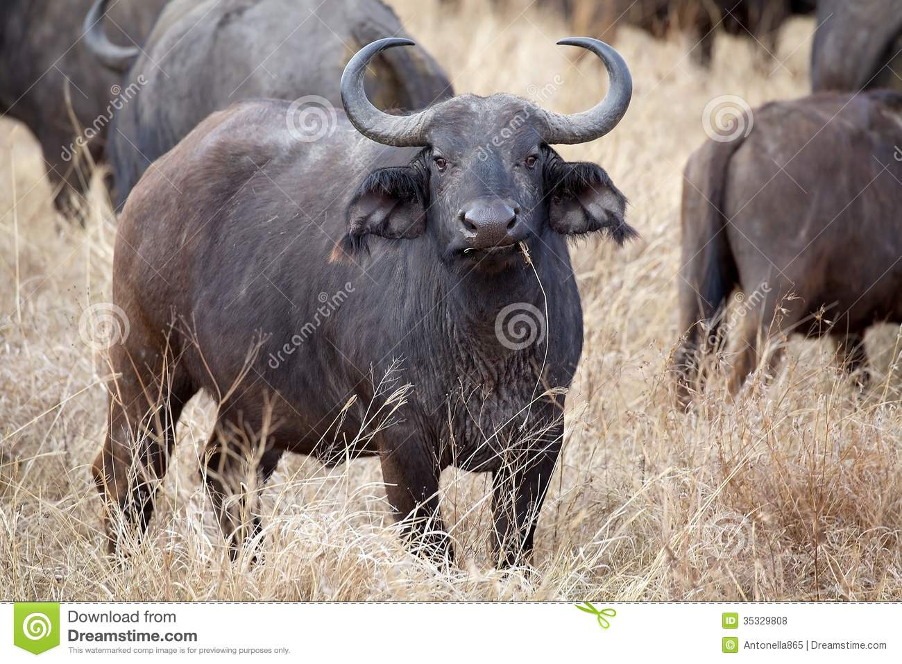 African Buffalo (Syncerus Caffer) Royalty Free Stock Photos.