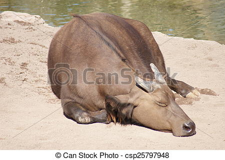 Stock Photo of African Forest Buffalo.