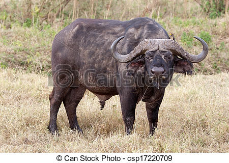 Stock Photography of African buffalo (Syncerus caffer) and yellow.