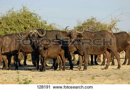 Stock Photography of African buffaloes.